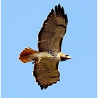 Red shoulderd hawk